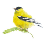 American finch yellow bird watercolor illustration handmade  on white background. American finch yellow bird watercolor illustration handmade  on white Royalty Free Stock Photo