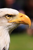 American fish eagle eye and beak royalty free stock image