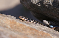 American Five-Lined Skink Stock Photos