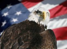 American flag and eagle. Portrait of an eagle. American flag and a bald eagle Royalty Free Stock Photography
