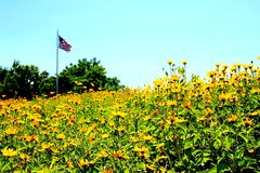 American Flag in a Field of Flowers. I walked through many beautiful golden flowers to capture the American flag waving in all of this beauty. Such glorious fun royalty free stock photography