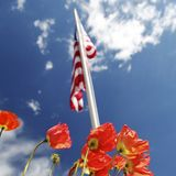 American flag on poppy fields, USA Memorial Day concept. Close up red poppies in foreground and american flag flying in the blue sky with white clouds, USA Stock Photography