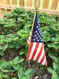 American flag in strawberry patch. Red white and blue American flag in a summer garden of green strawberry plants. Patriotic home in the Midwest USA Royalty Free Stock Photos