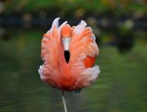 Free American Flamingo Stock Photography - 12333702
