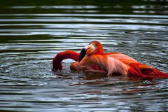 American Flamingo Royalty Free Stock Images