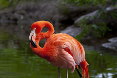 American Flamingo Royalty Free Stock Photos