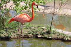 American Flamingo Stock Photography