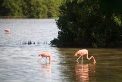 American Flamingo. (Phoenicopterus ruber). Cuba Royalty Free Stock Photos