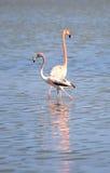 American Flamingo. (Phoenicopterus ruber). Cuba Royalty Free Stock Image