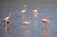 American Flamingo. (Phoenicopterus ruber). Cuba Stock Photo