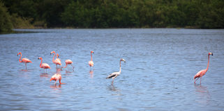 American Flamingo. (Phoenicopterus ruber). Cuba Royalty Free Stock Images