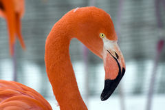 American Flamingo. An American Flamingo (Phoenicopterus ruber royalty free stock images
