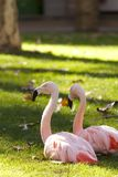 American Flamingo Stock Image