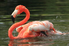American flamingo Stock Photo