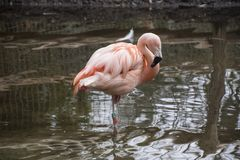 American Flamingo. The American flamingo Phoenicopterus ruber is a large species of flamingo also known as the Caribbean stock photos