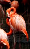 Flamingo drying wings Stock Image