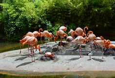 American Flamingo with baby Stock Photography