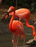 Flamingo in bird sanctuary Royalty Free Stock Image