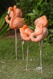 American Flamingo birds Royalty Free Stock Photos