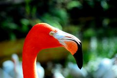 American flamingo closeup portrait Royalty Free Stock Photos