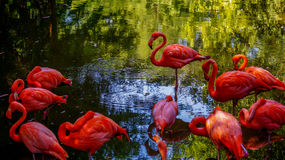 American Flamingo (Phoenicopteridae) Royalty Free Stock Photography