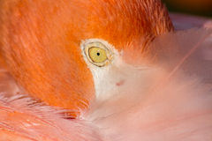 American Flamingo. An extreme close-up of an American flamingo Royalty Free Stock Photos