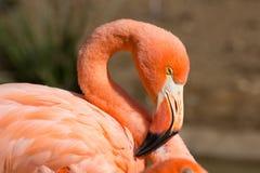 American Flamingo Head Stock Images