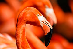American Flamingo Head Shot Stock Photos