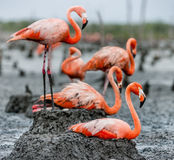 American Flamingo on the nest Stock Photo