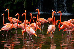 American Flamingo, Orange flamingo Stock Image
