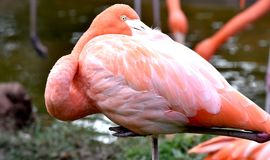 American flamingo, orange/pink plumage, Oklahoma City Zoo and Botanical Garden. Feeding in the lagoon enclosure royalty free stock image