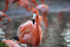 American Flamingo (Phoenicopterus ruber) stock photo