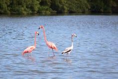 American Flamingo (Phoenicopterus ruber). Cuba Stock Photos