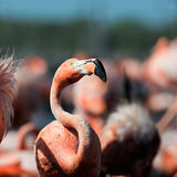 The American Flamingo (Phoenicopterus ruber) stock photography
