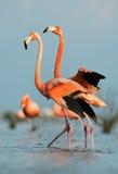 American Flamingo (Phoenicopterus ruber) Royalty Free Stock Photo