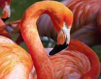American Flamingo - Phoenicopterus ruber Stock Photography