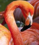 American Flamingo - Phoenicopterus ruber Stock Images