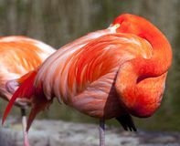American Flamingo - Phoenicopterus ruber Stock Photos