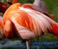 American Flamingo - Phoenicopterus ruber Stock Image