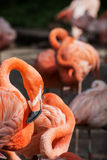American flamingo (Phoenicopterus ruber) Stock Photos