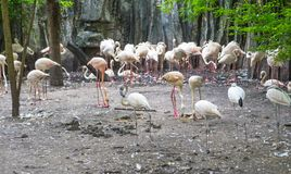 The American flamingo royalty free stock photo