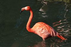 The American flamingo, Phoenicopterus ruber is a large species of flamingo royalty free stock photos