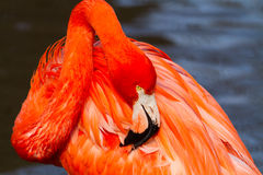 The American Flamingo. (Phoenicopterus ruber) is a large species of flamingo closely related to the Greater Flamingo and Chilean Flamingo. It was formerly Stock Photo