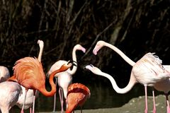 The American flamingo, Phoenicopterus ruber is a large species of flamingo stock image