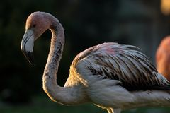 Young Caribbean Flamingo in winter royalty free stock photos
