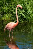 American Flamingo - Phoenicopterus ruber. A native of South America, a captive American Flamingo stands in the shallow water at the zoo. Toronto, Ontario, Canada stock photo