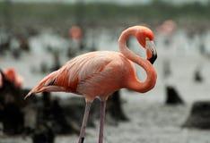 The American Flamingo (Phoenicopterus ruber) Stock Image