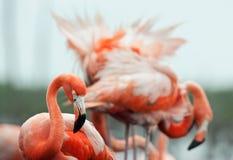 The American Flamingo (Phoenicopterus ruber) Stock Images