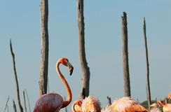 The American Flamingo (Phoenicopterus ruber) Stock Photos