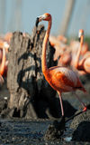 The American Flamingo (Phoenicopterus ruber) Stock Image